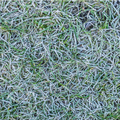 Crown hydration causes extensive winter lawn damage and grass death, making it one of the worst causes of winter kill in Claymont, DE lawns every winter and spring.