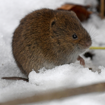 Voles cause some of the worst forms of winter kill in Claymont, DE lawns.