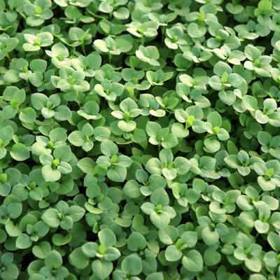 Prevent a chickweed infestation with spring lawn care services from Quality Cut Lawn Service.